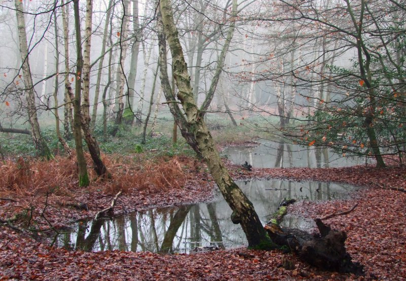 Pools  in  a very, misty, Epping  Forest.