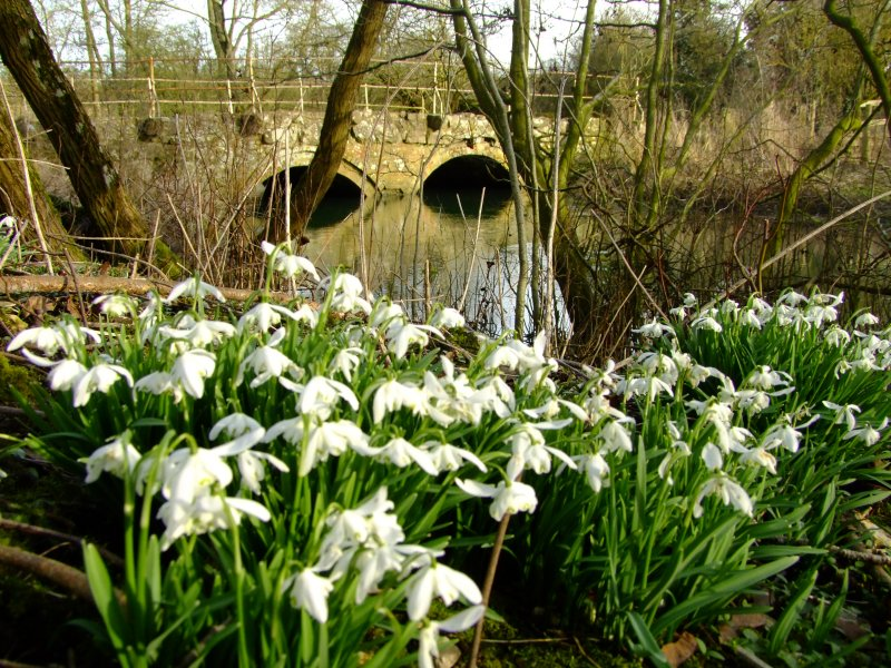 Riverbank  snowdrops   by the  River  Kennet.