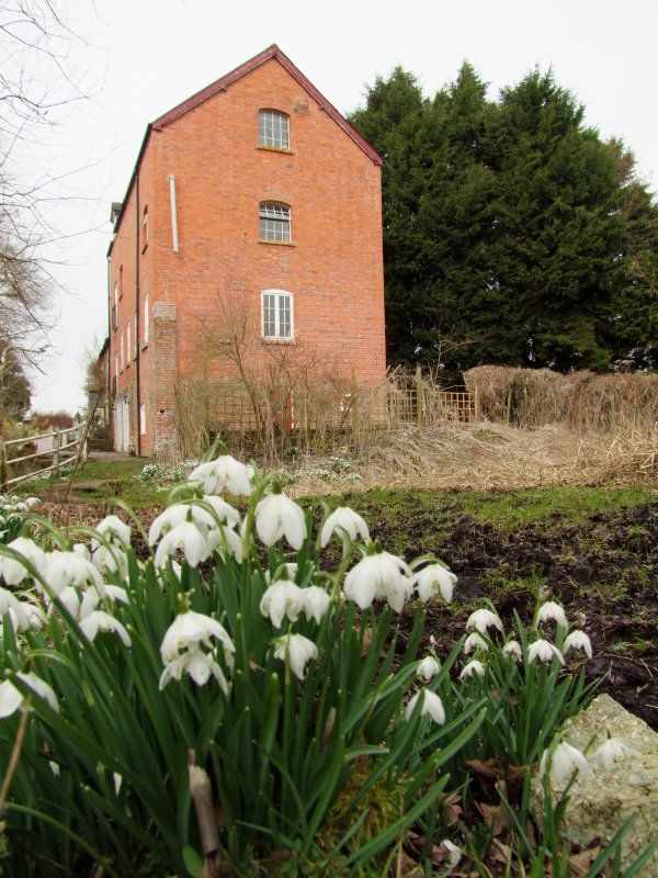 Snowdrops  by  an  old  mill.