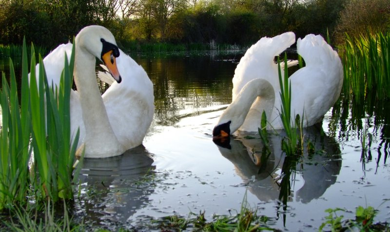 Low  angled  view  of  a  pair  of  swans.