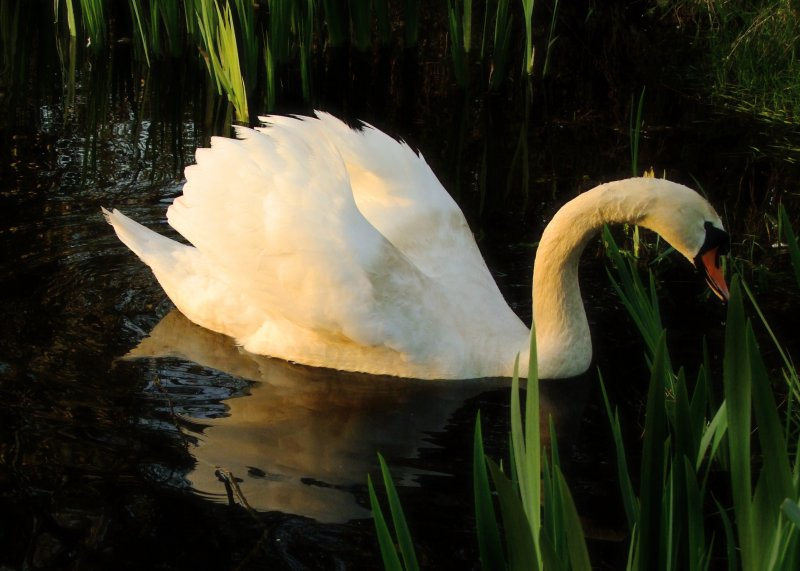 Swan  in  evening  light, reflected.