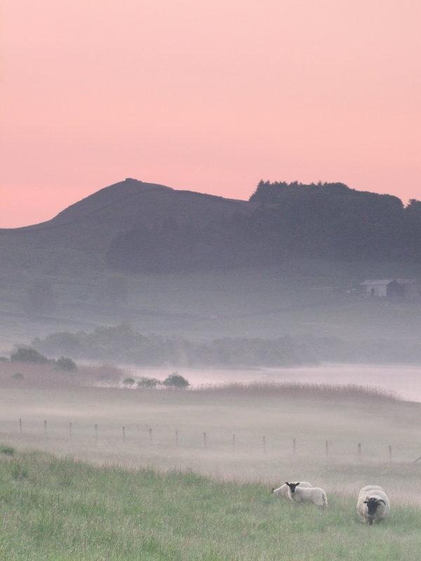 Sheep  and  morning  mist, beneath  Hotbank.