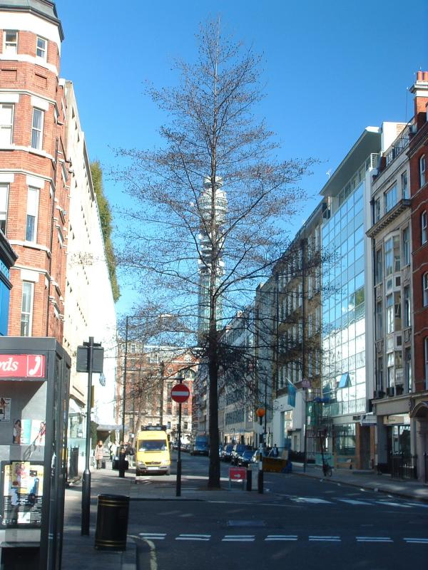 A tall tree in Berners Street,with the B.T.Tower,behind.