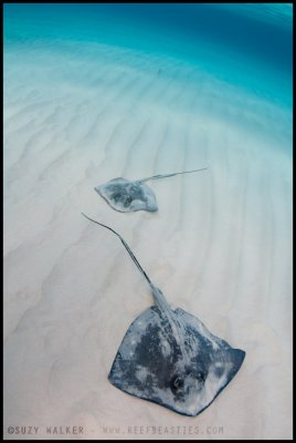 Two Stingrays