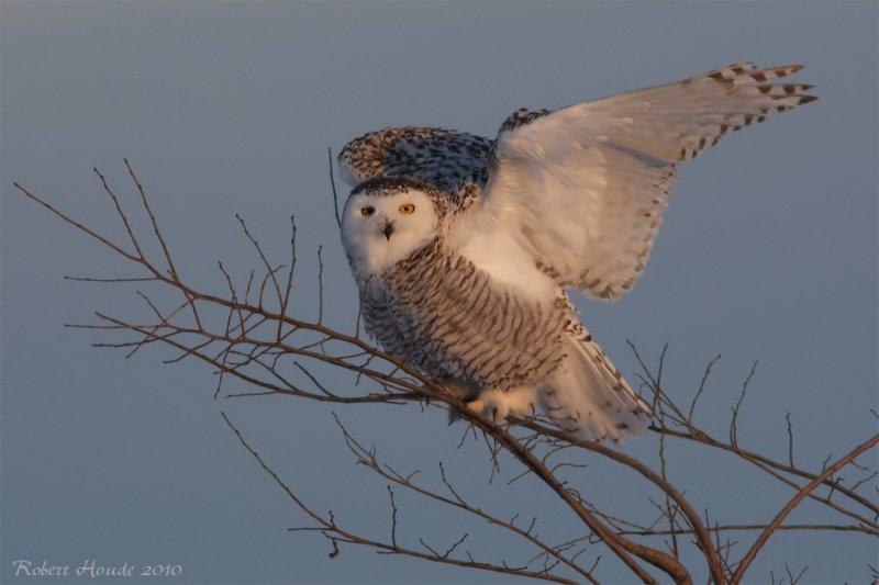 Harfang des neiges -- _E0K3498 -- Snowy Owl