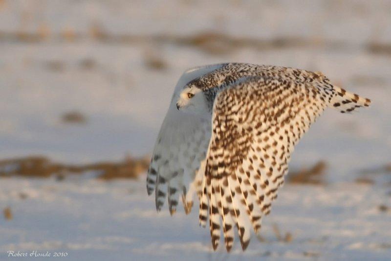 Harfang des neiges -- _E0K3513 -- Snowy Owl