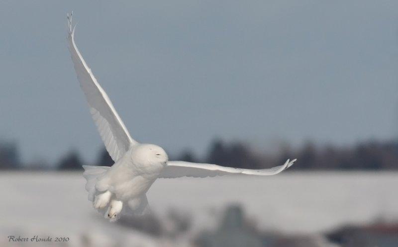 Harfang des neiges mâle -- _E0K3619 -- Snowy Owl male