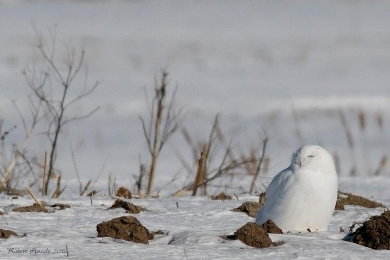 Harfang des neiges -- _E0K3646 -- Snowy Owl