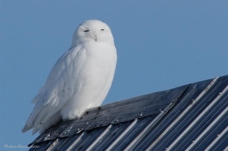 Harfang des neiges -- _E0K3689 -- Snowy Owl