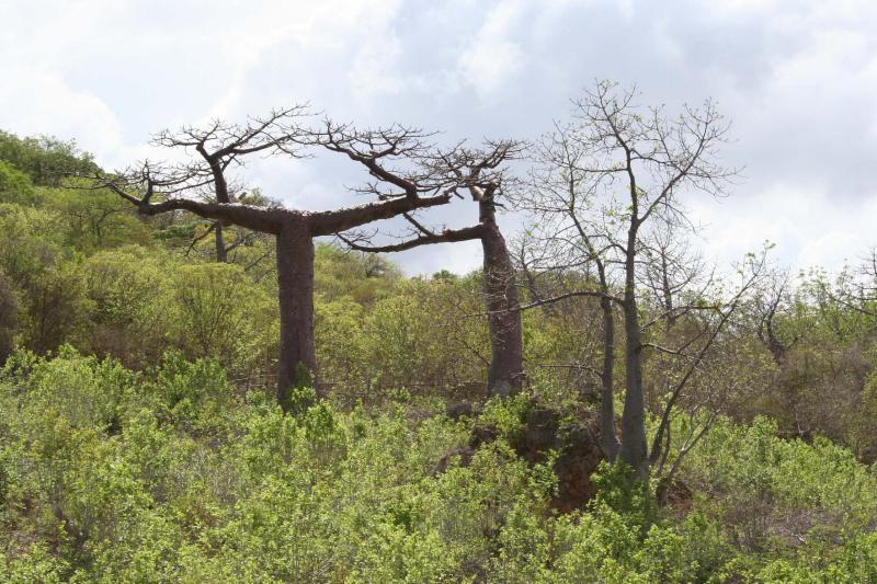 Adansonia suarezensis and Adansonia madagascariensisMadagasc.JPG