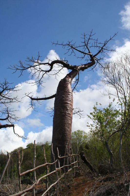 Adansonia suarezensis Madagascar Diego Suarez MOntagne de 1.JPG