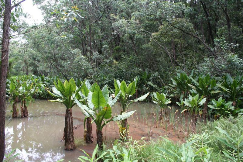 Araceae  Typhonodorum lindleyanum Madagascar Est Andasibe .JPG