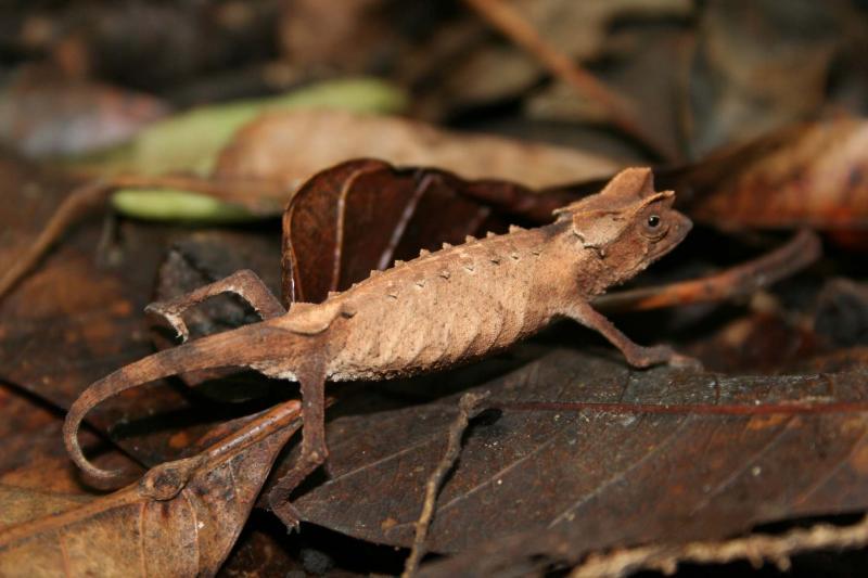 Brookesia stumpffi Madagascar Diego Suarez Montagne dAmbre .JPG