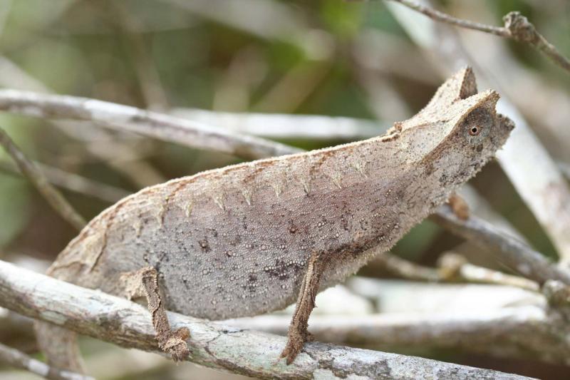 Brookesia superciliaris Madagascar Est Andasibe Maromiza 1.JPG
