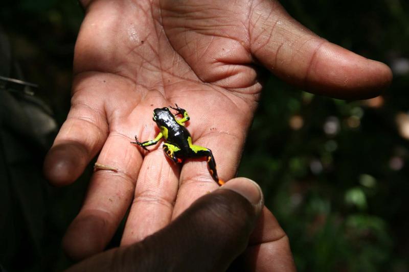 Mantella madagascariensis Madagascar Est Andasibe Mantandia .JPG