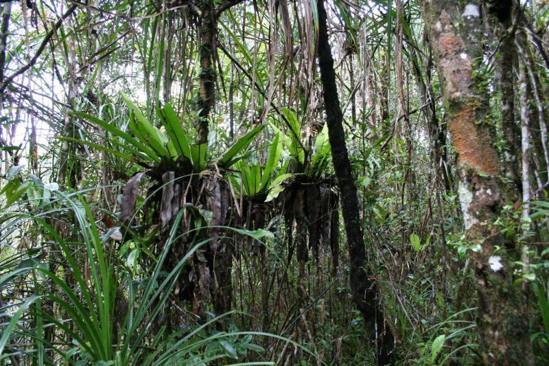 Montane Pandanus forest Madagascar Est Andasibe Vohimama 3.JPG
