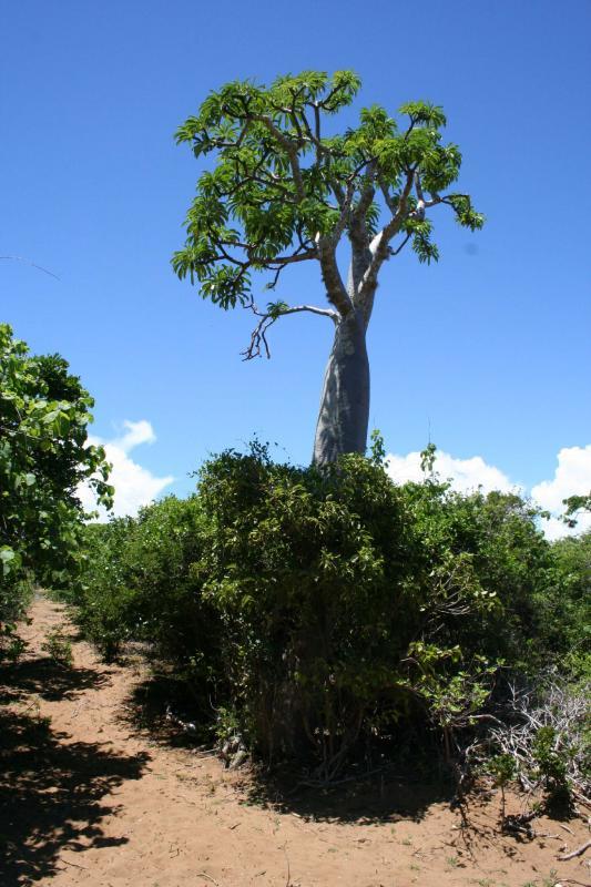 Pachypodium sp. Madagascar Diego Suarez Foret de lOrang 1.JPG