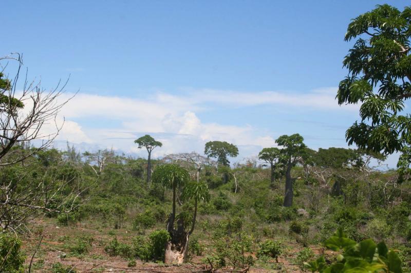 Pachypodium sp. Madagascar Diego Suarez Foret de lOrang 2.JPG