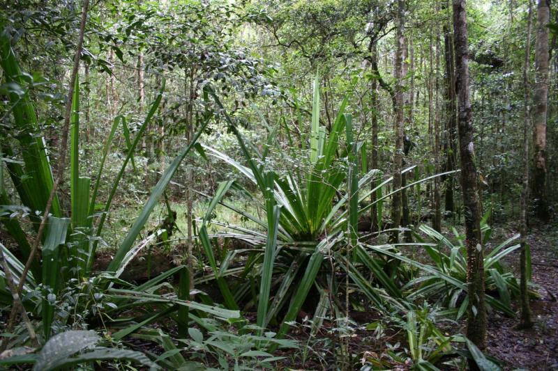 Pandanus Madagascar Est Andasibe Mantandia National Park 1.JPG