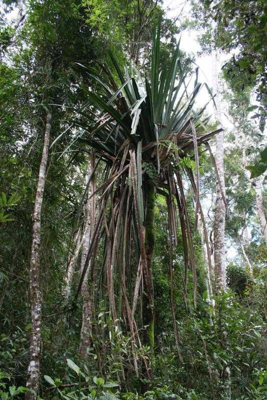 PandanusMadagascar Est Andasibe Mantandia National Park 7.I.JPG