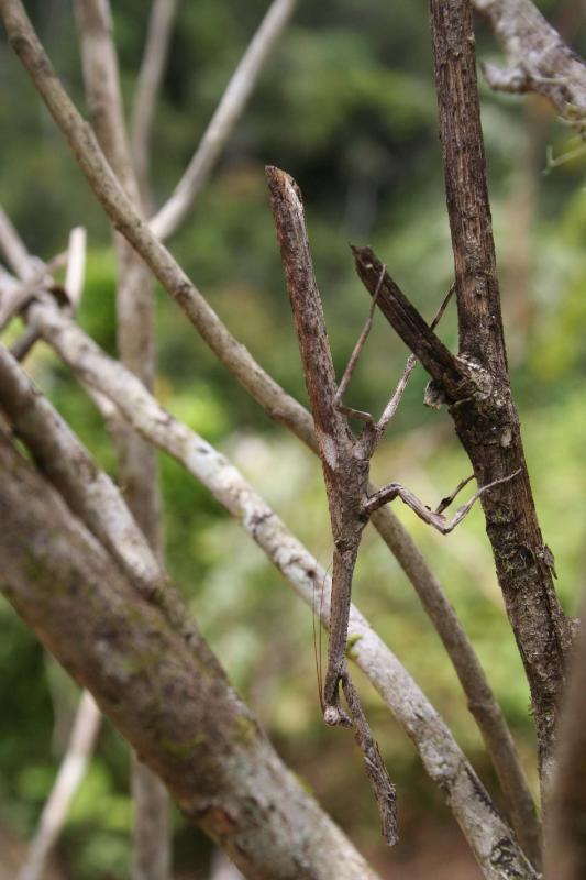 Praying Mantis Madagascar Est Andasibe Vohimama forest 5.I.2.JPG