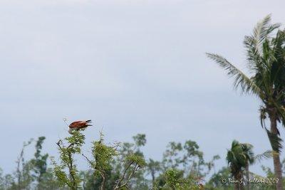 Brahminy Kite #01