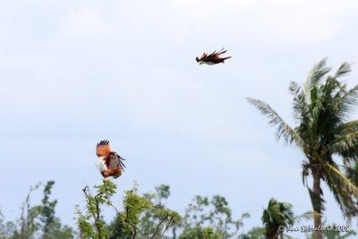 Brahminy Kite #02