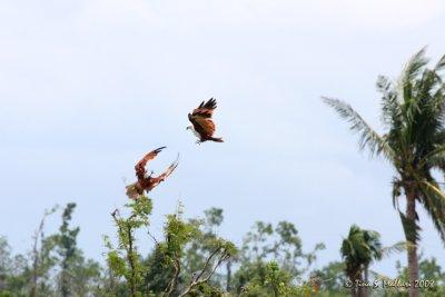 Brahminy Kite #03