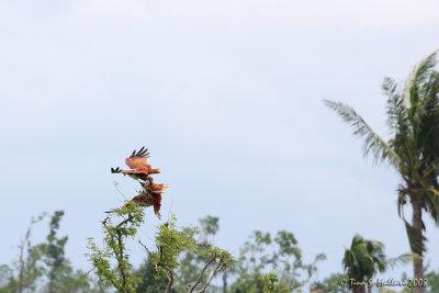 Brahminy Kite #04