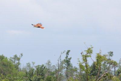 Brahminy Kite #05