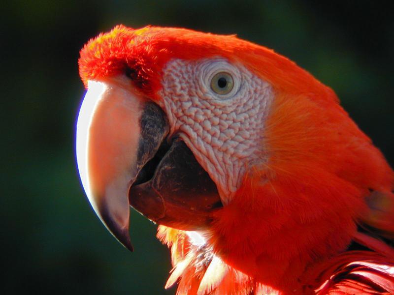 Phoenix Zoo Scarlet Macaw