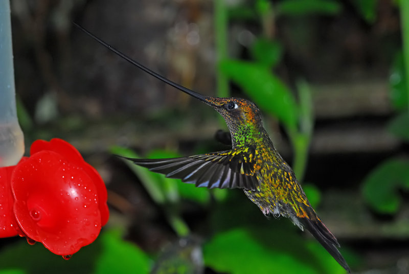 Sword-billed Hummingbird Male at Feeder 2