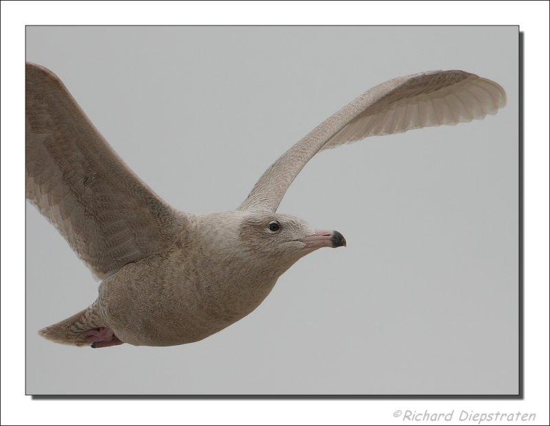 Grote Burgemeester - Larus hyperboreus - Glaucous Gull