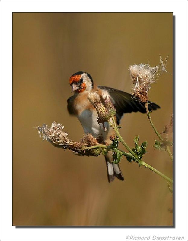 Putter - Carduelis carduelis - Goldfinch
