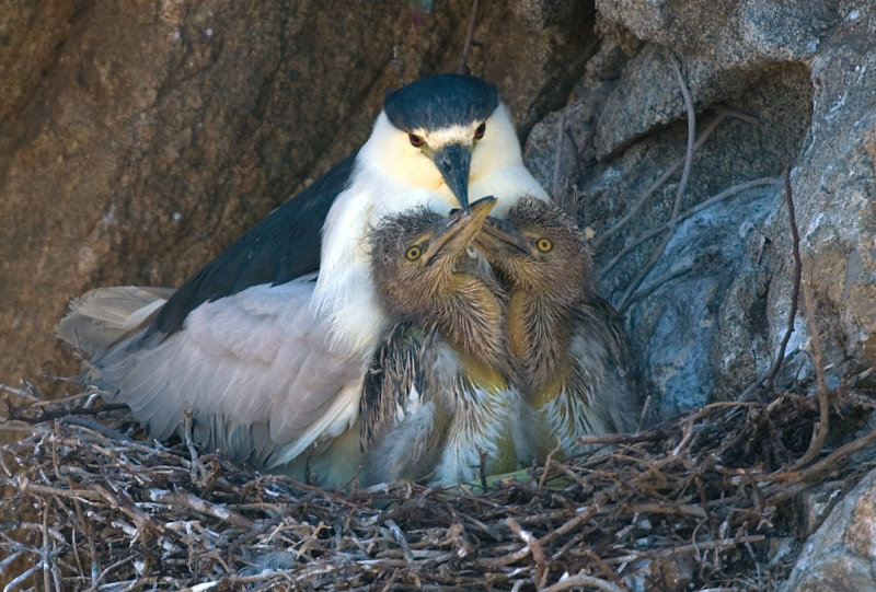 Black-crowned Night-Heron and chicks