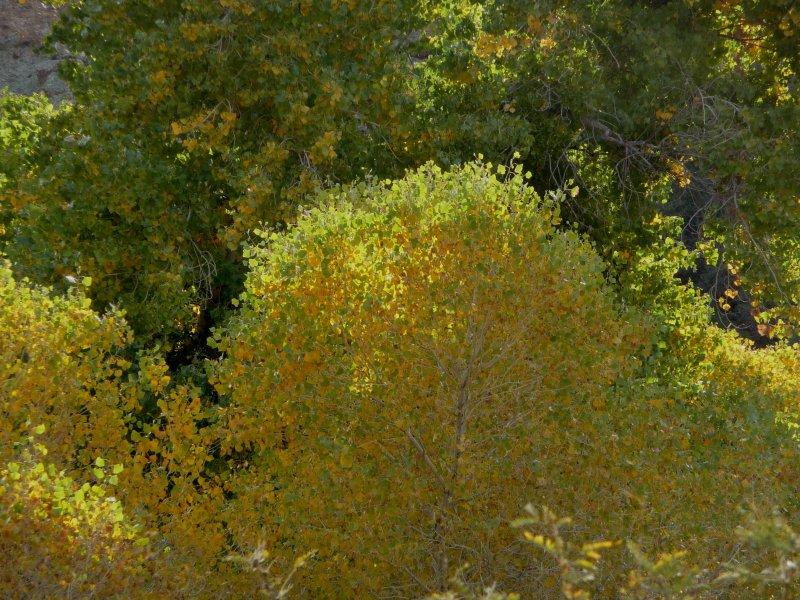 Zoom Shot of Cottonwood Leaves