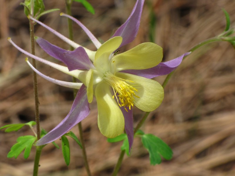 Columbine flower at Flagstaff Arboretum