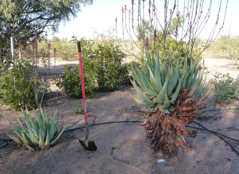 Two Aloe littoralis - both removed