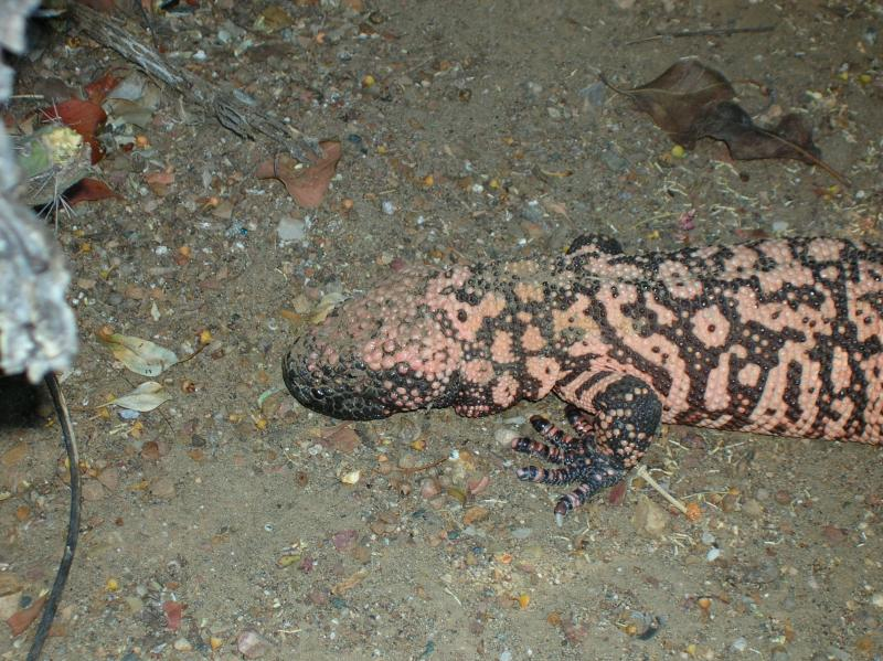 Gila Monster in the cactus garden