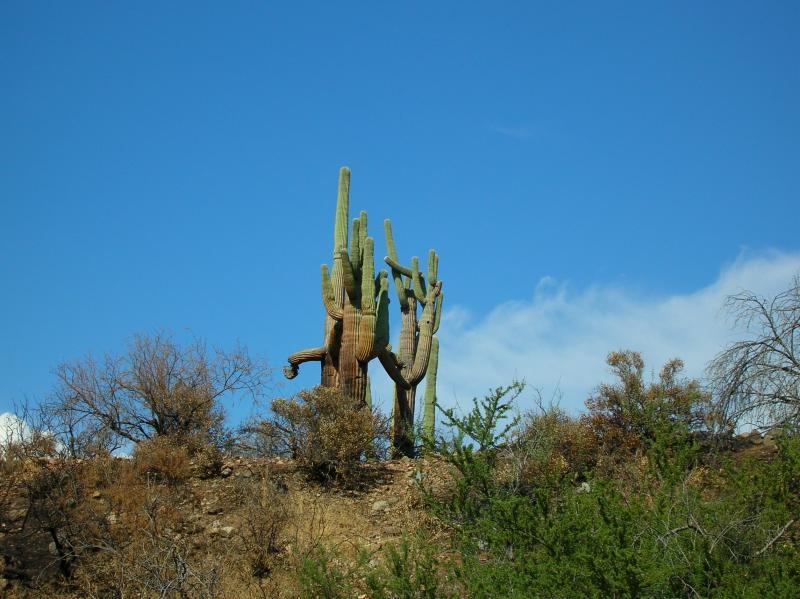 Fire damaged saguaros