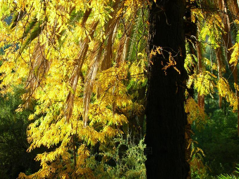 Morning light on Honey Locust tree