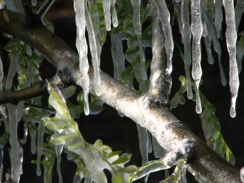 Mesquite branch encased in ice