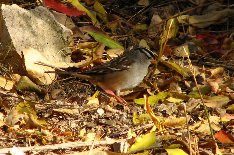 White Crowned Sparrow in the Herb Garden
