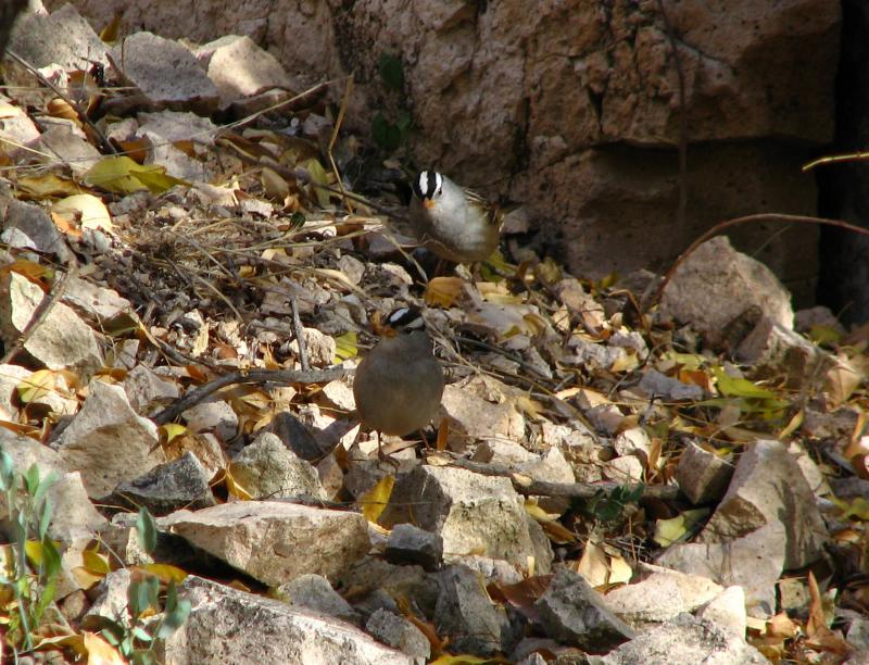 White Crowned Sparrows in the Herb Garden