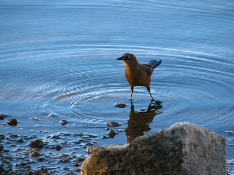 Female Great-Tailed Grackle