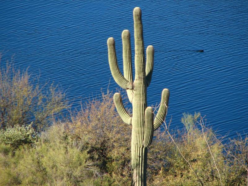 Saguaro, and coot swimming in Saguaro Lake
