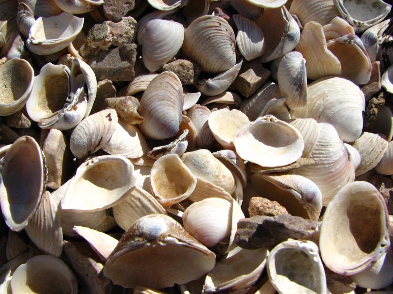 Freshwater clams along the lake shore