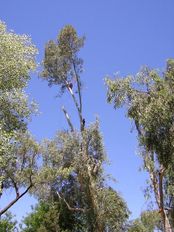 Tree Climbers pruning a Eucalyptus in the Demonstration Garden