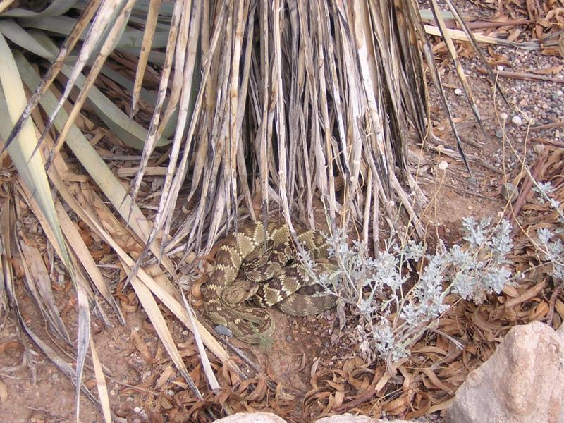 Two Blacktail Rattlesnakes on a Date