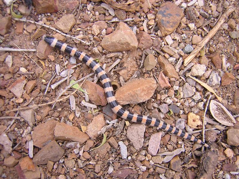 Banded Sand Snake in the Cactus Garden